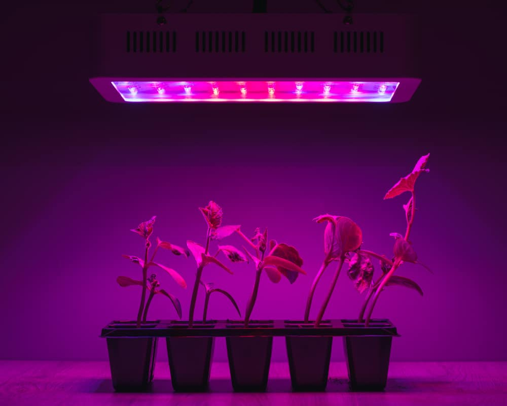 cucumber-sprouts-under-led-light-grow-lamp
