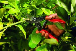 a-hand-holding-a-secateur-to-cut-a-branch