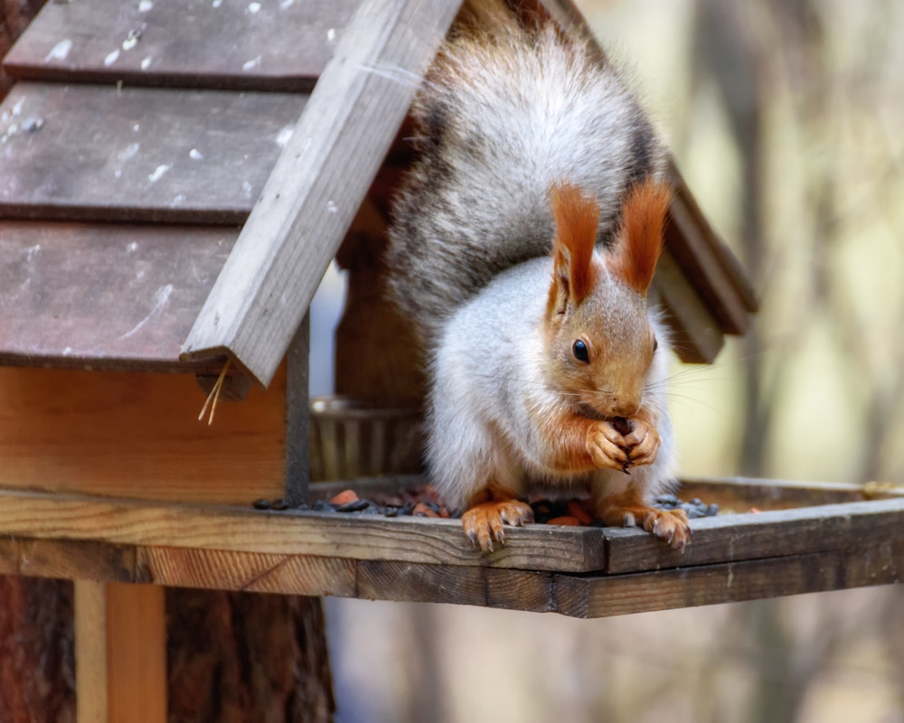 How to Keep Squirrels off a Bird Table