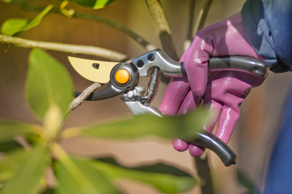 how to clean secateurs