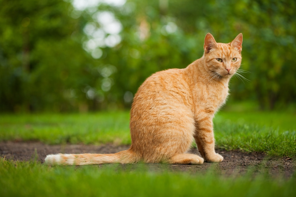 what is the most effective cat repellent